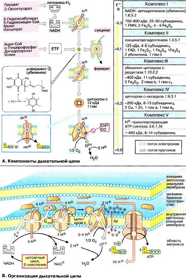 Компоненты дыхательной цепи