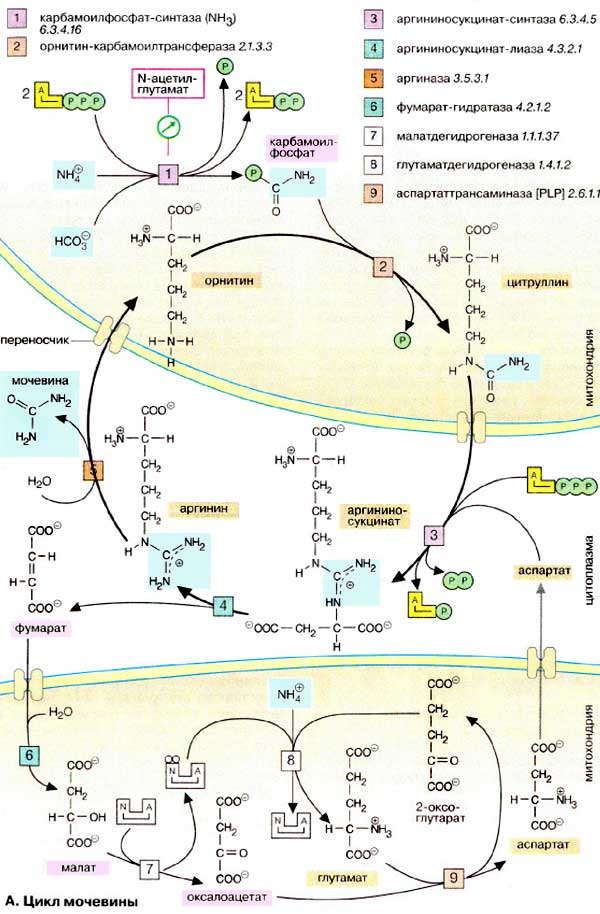 Все циклы по биохимии