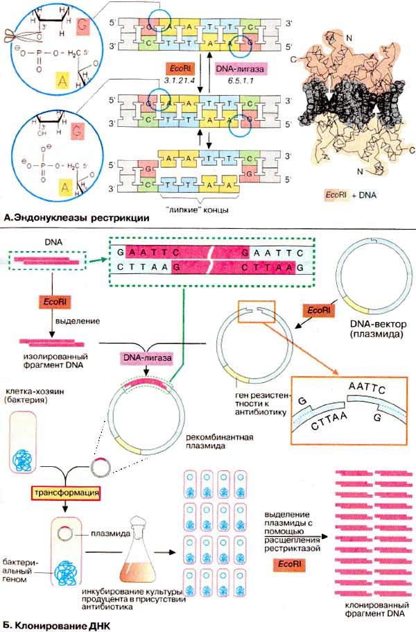 Биохимия днк