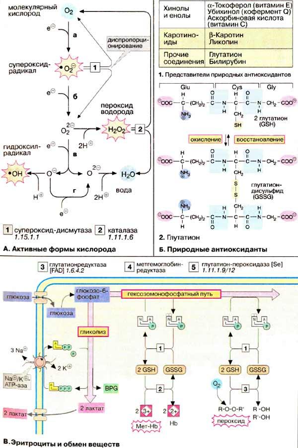Метаболизм базальный фото