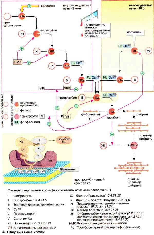 факторов свертывания крови