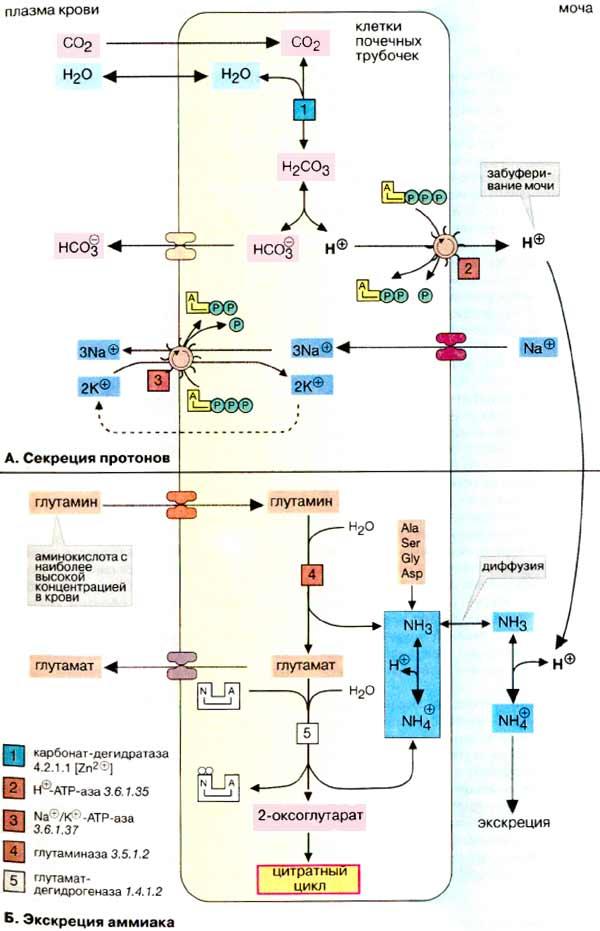Кетогенез фото
