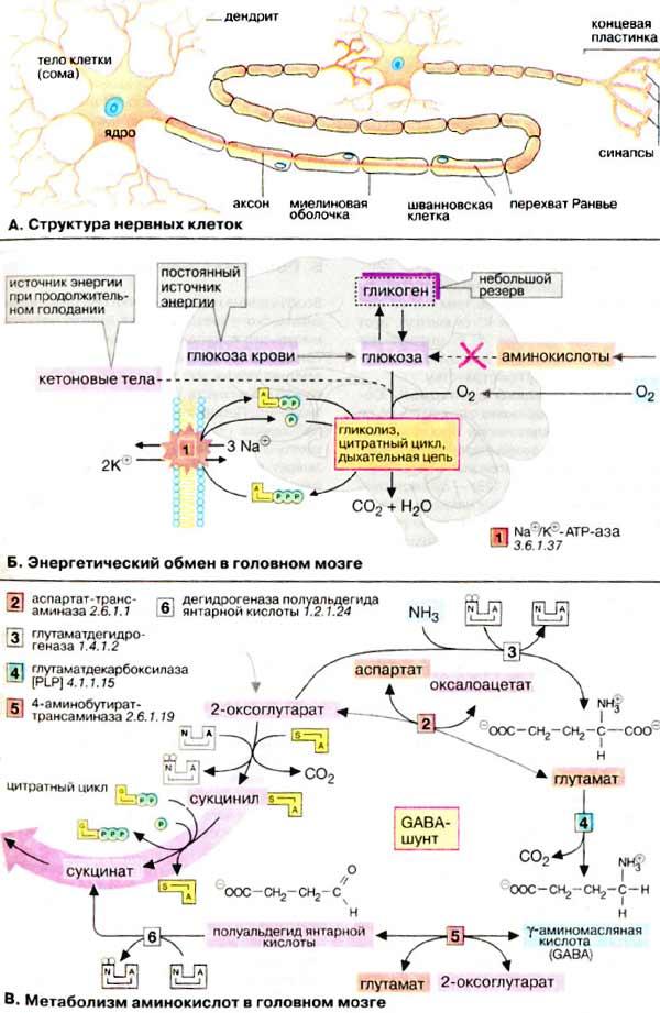 Нервная ткань: структура