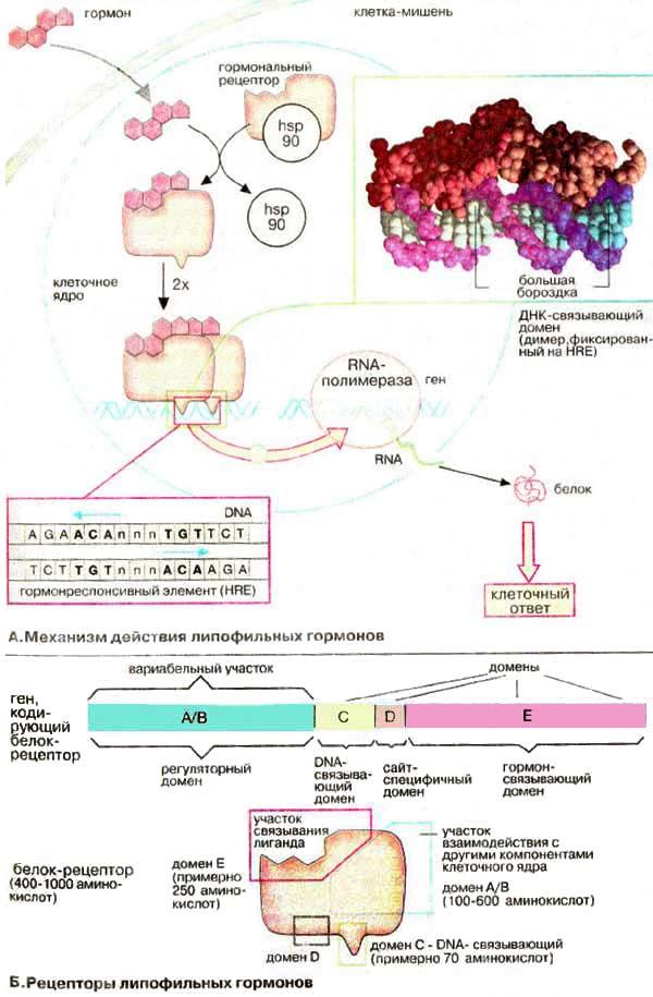 Эндокринная Система Реферат