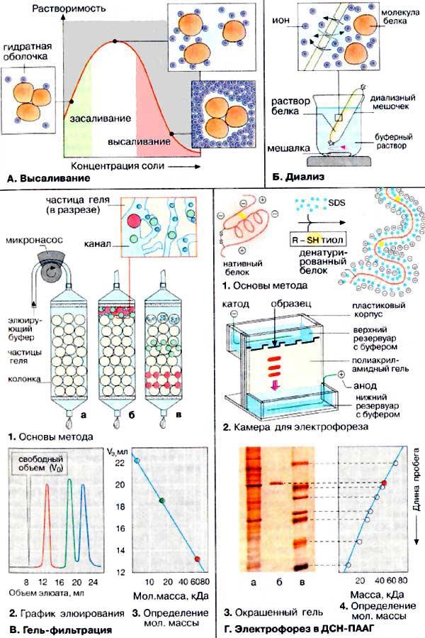 Значение электрофореза белков на бумаге