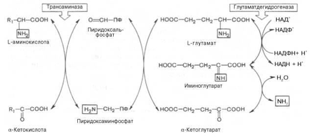 и в биосинтезе аминокислот