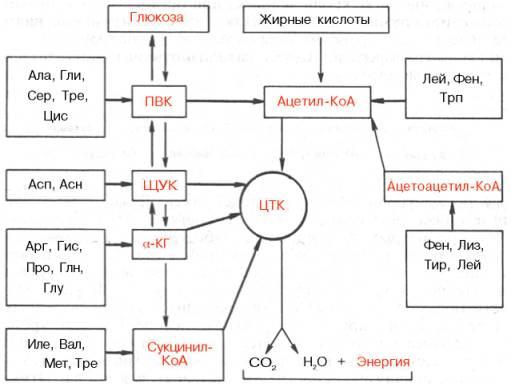 Углеродные скелеты аминокислот