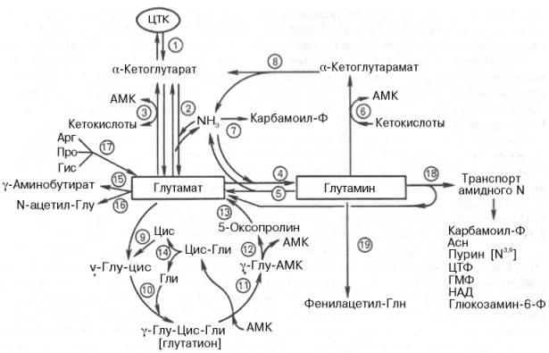 цикла лимонной кислоты;