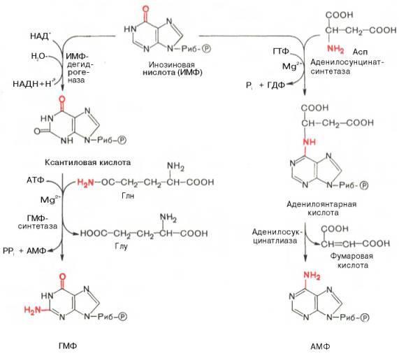 В ферментативном синтезе АМФ
