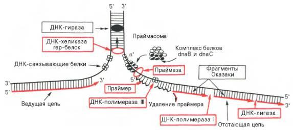 Основные этапы репликации ДНК