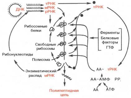 синтезе белка (по Уотсону)