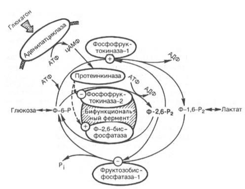 Гормональная регуляция системы