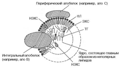 Строение ЛП-частицы (схема).