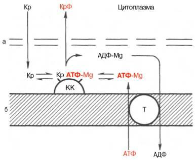 Перенос энергии из митохондрий