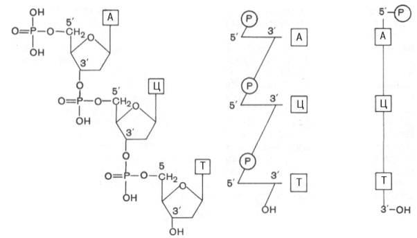 молекуле ДНК (определение