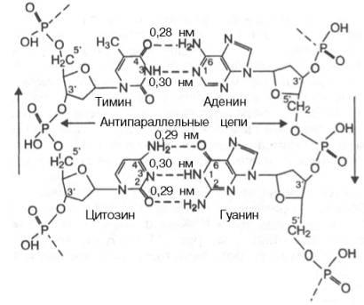На модели ДНК (см. рис.