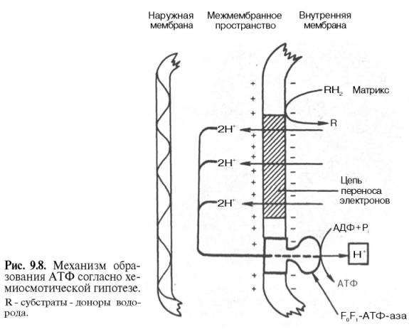 Функция дыхательной цепи