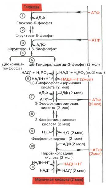 реакций гликолиза