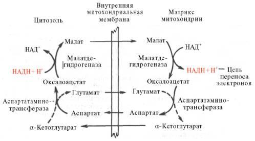 Малат-аспартатная челночная