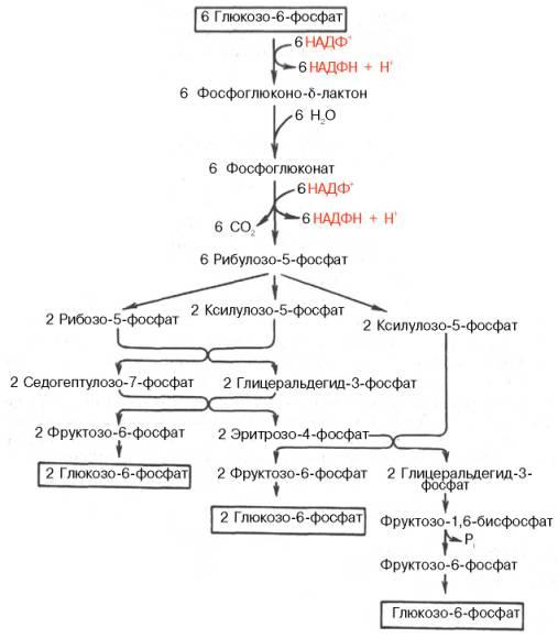 Пентозофосфатный путь окисления углеводов