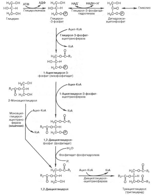 Биосинтез триглицеридов