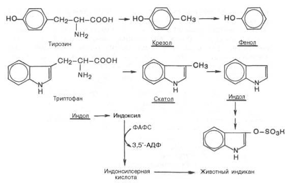 ...связывания с серной или глюкуроновой кислотой с образованием нетоксичных, так называемых парных, кислот...