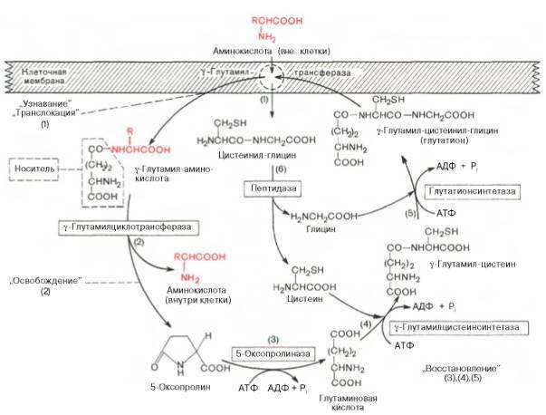 Сущность этой гипотезы можно представить в виде схемы. через. плазматическую мембрану. пептида. фермент.