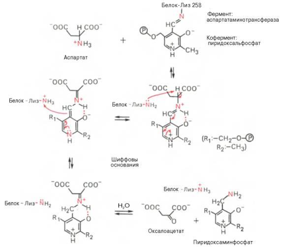 реакции трансаминирова-ния