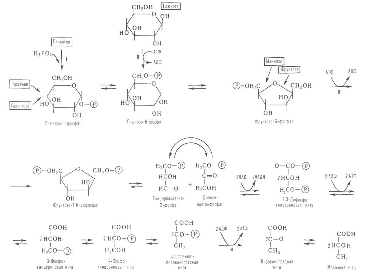Его роль - быть проводником глюкозы в клетку для участия в биохимических реакциях.  Без.