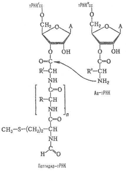 тРНК, А-остаток аде-нина.