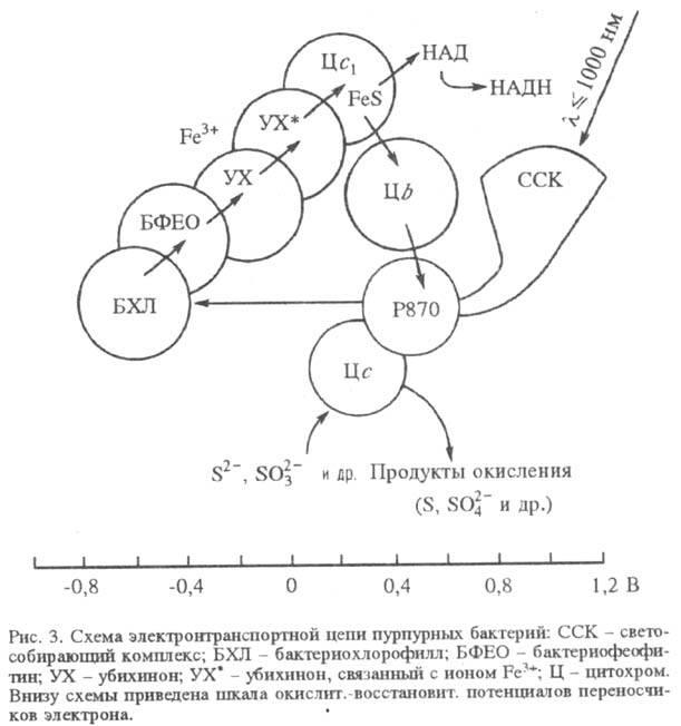 синтезом АТФ, а не НАДФН.